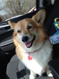 A corgi in the car!