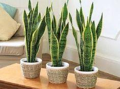 Plantas que purificam o ar de sua casa