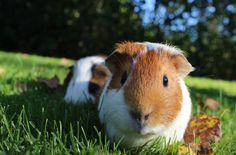 guinea-pig-1100448_1280
