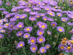 Growing Aster Alpinus seeds is an easy and rewarding way to bring these wonderful perennial blue flowers to the garden. Start flower seeds and grow enough for a neighbor! Planting Flowers, Purple Garden, Beautiful Flowers, Flower Field, Flora Flowers, Love Flowers, Trees To Plant, Flower Seeds, Blue Flowers
