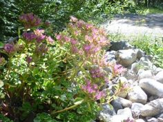 sedum the ubiquitous stonecrop it s everywhere, container gardening, flowers, gardening, succulents, Growing in only a small amount of soil that never gets watered is a typical Stonecrop trait