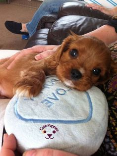 Cavalier King charles puppy Cavalier King charles puppy Source by The post Cavalier King charles puppy appeared first on Bruce Kennels. Cute Baby Dogs, Cute Little Puppies, Cute Dogs And Puppies, Baby Puppies, Cute Baby Animals, Doggies, King Charles Puppy, Cavalier King Charles Dog, Cavalier King Spaniel