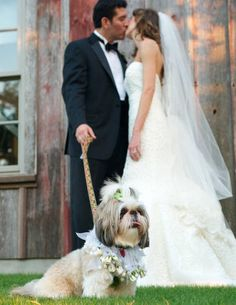 My Shih Tzu will have to be in my wedding! Teacup Dog Breeds, Teacup Puppies, Shitzu Puppies, Teacup Chihuahua, Shih Tzu Puppy, Shih Tzus, Dog Wedding, Wedding Ideas, Luxury Wedding