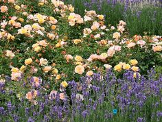 Gardening:Rose Garden Tips And Ideas Gardening Landscape Plans Garden Seating Planting Plan Climbing Rose Flower Yard Decor Small Backyard Landscaping Layout Design Ideas How To Maintain A Rose Garden Rose Garden Tips and Plans Ideas : How to Grow a Rose Garden in Pots and Other Flower Container