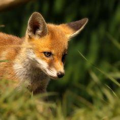 Red Fox Cub In The Grass Photograph  - Red Fox Cub In The Grass Fine Art Print