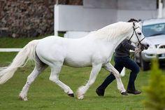 Frederiksminde Hazy Match, 1991 Connemara Pony stallion by Hazy Dawn. Connemara Pony, Pony Breeds, All About Horses, White Horses, Palomino, Picture Captions, Beautiful Horses, Ponies, Dawn