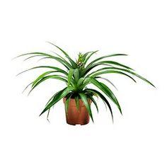 planta de ananás