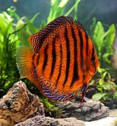 New World Cichlid Discus Aquariums, Discus Aquarium, Tropical Fish Aquarium, Tropical Freshwater Fish, Discus Fish, Freshwater Aquarium Fish, Betta Fish, Fish Ocean, Fish Fish