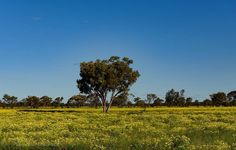 Wildflowers #yellow  #wildflowers #outback #naturephotography #nature #foto_adventures #queensland_captures