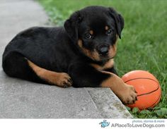 rottweilers are the best