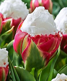 Ice cream tulips or Peony tulips.Their white petals are closely mounded against one another and form a central cone that resembles vanilla ice cream!