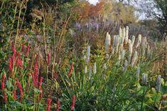 Noch im Oktober steht der Kerzen-Knöterich in voller Blüte. Hier leistet er dem Kanada-Wiesenknopf Gesellschaft.