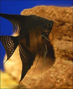 Black Angel Fish - Jet Black Freshwater Angelfish+++