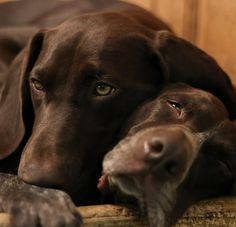 The German Shorthaired Pointer (GSP) was bred at the turn of the nineteenth century in Germanywith the end goal of hunting. It is believed that there were many dogs that went into making this remarkable breed. Some of which incorporate some German breeds, for example, the schweisshund, a German dog known for