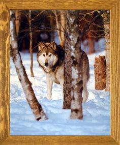 This beautiful piece of framed art will help to add color and life to your space! This framed poster depicts the image of grey wolf standing in a snow field will add wildlife nature charm into your home. It would be a perfect gift for any wild animal lover. Its wooden brown rust frame accentuates the poster mild tone. The frame is made from solid wood measuring 19x23 inches with a smooth gesso finish. This framed poster includes a wire hanger on the back for easy display.