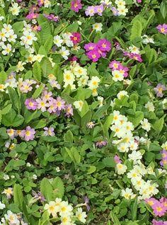 Die Primeln blühen wunderschön! #gartenblog #schön #draussen Winter, Plants, Natural Garden, Pastel Colors, Nice Asses, Winter Time, Plant, Winter Fashion, Planets