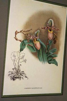 Lindenia Print Limited Edition Cypripedium Glaucophyllum Orchid Art Paph Flor B5      $15.31 asmatcollection on ebay.com and bonanza.com cheetahdmr@aol.com if you have any questions.