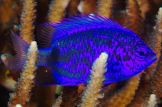 Damselfish by PacificKlaus, via Flickr