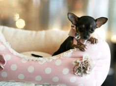 Chihuahua Puppy   Yuppypup.co.uk provides the fashion conscious with stylish clothes for their dogs. Luxury dog clothes and latest season trends, Dog Carriers and Doggy Bling. Next Day Delivery. Please go to http://www.yuppypup.co.uk/