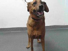 ***FRIENDLY LAB MIX ABOUT NEEDS YOUR HELP! 02/2018 18-14976 is a brown, male adult dog, that weighs approximately 63 lbs. He was impounded on 2/6/2018 from the City of Pico Rivera. Adoption holds must be placed in person. Adoption availability date 2/10/2018. Please visit SEAACA and ask for identification number 18-14976 to see me. Downey CA