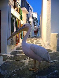 Amazingly, I wasn't surprised to find a huge pelican wandering the narrow streets of Chora . it just seemed to fit Mykonos, Greece June 2006 Mykonos Island, Santorini Greece, Places To Travel, Places To Visit, Places In Greece, Greece Islands, Fauna, Greece Travel, Crete