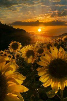 Sunflowers at Sundown