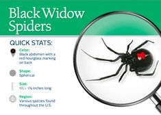 How to prevent black widow spiders in the house