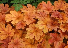 Heucherella 'Buttered Rum': Caramel-dipped, deeply-cut maple leaves adorn this aptly named plant from spring to summer. In fall, the cool weather burnishes the leaves to a lovely rose red - a perfect complement to fall-planted containers. Grows into a medium sized mound that's perfect in the landscape. Try it in a vertical planting with contrasting purple-leaved varieties of Heuchera.