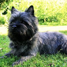 Darling dog - Cairn Terrier, Dustin, barely a year old.