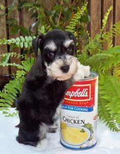 Texas T's Toy Schnauzers-Past Pups  http://toyschnauzersrus.com/