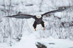 Bald Eagle ~ by Henrik Nilsson