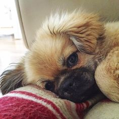 These dogs are as much a couch potato as you are. This is a Tibetan Spaniel.