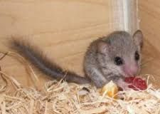 Image result for african pygmy dormice