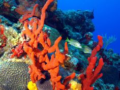 Sponges are from the phylum Porifera. They are some of the most simple animals in the ocean. Underwater Music, Underwater World, Types Of Sponges, Ocean Depth, Sculpture Lessons, Underwater Creatures, Aqua Marine, Zoology, Ocean Life