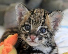 Ocelot kitten, Santos