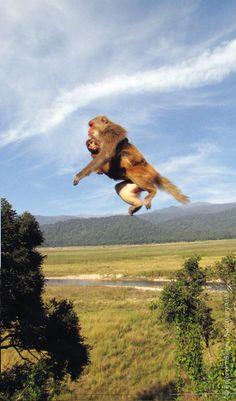 Rhesus macaque mother in mid-leap - Corbett Tiger Reserve: Brijendra Singh