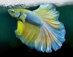 Here are the most beautiful betta fish in the world. And betta fish known as the Siamese fighting fish and 'The Jewel of the Orient', they are rather. Pretty Fish, Beautiful Fish, Aquascaping, Colorful Fish, Tropical Fish, Poisson Combatant, Beautiful Creatures, Animals Beautiful, Siamese Fighting Fish