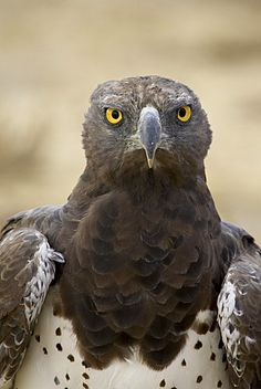 Martial eagle (Polemaetus bellicosus), Kgalagadi Transfrontier Park…