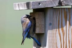 Free Bluebird House Plans: Build a bluebird house to bring nesting bluebirds to your yard.
