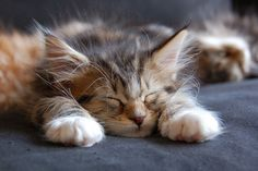 sweet maine coon kitten - Louis does this all the time. So cute!