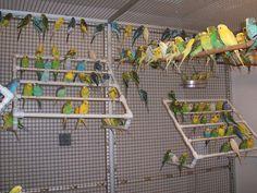 Budgies in an Aviary Parakeet Cage, Budgie Parakeet, Budgies, Big Bird Cage, Pigeon Breeds, Bird Types, Bird Aviary, Pet Cage, Little Birds
