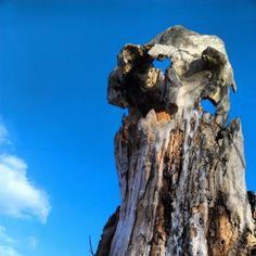 Old Tall Tree Stump