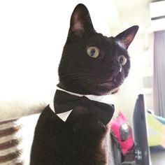 🍕 『お嬢さま、お夕食はピザをお召し上がりになりませんか』 みんなで使おう!にゃんにゃん割クーポンはここからニャ↓ @pizza_hut_japan #ピザハットニャンバサダー #ねこ #猫 #neko #cat #くろねこ #黒猫 #黒猫が好きすぎる #黒猫同盟 #ねこのいる暮らし #ねこのいる生活 #日本の猫 #blackcat #gatto #chat #kat #gato #katze #macska #catstagram #愛猫 #家猫 #ねこ好き #猫好きさんと繋がりたい #みらん様 #保護猫 #黒猫執事
