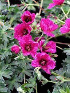Geranium cinereum Purple Pillow  Cranesbill, Perennial Geranium