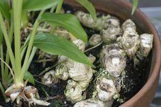 Gyömbér Salvia, Spices, Home And Garden, Herbs, Gardening, House, Gardens, Plant, Turmeric