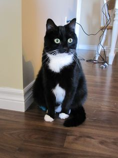Tuxedo Cat With Bow Tie Img_0388.jpg #catbreeds - Know moreat - Catsincare.com!