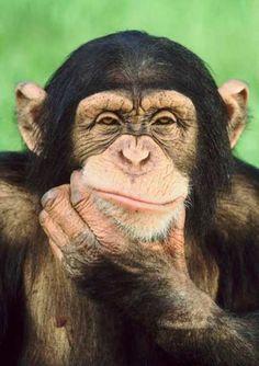 шимпанзе - Поиск в Google