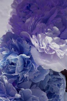 Glorious lilacs