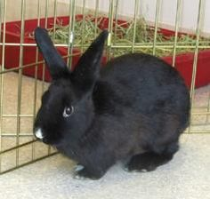 Maddy is an adoptable American Rabbit in Hilliard, OH. Maddy was rescued, along with over a hundred other bunnies, from deplorable living conditions. Despite her unfortunate start in life, she has the...