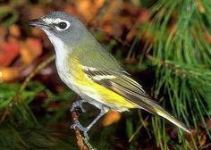Blue-headed Vireo (One of the birds I am working with this summer)